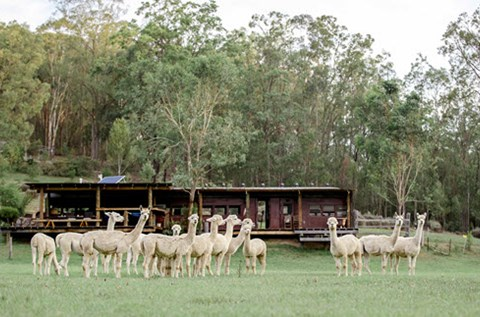 little valley alpaca farm stay accommodation hunter valley
